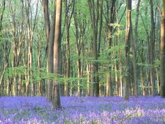 Bluebell Wood, Micheldever, Hampshire