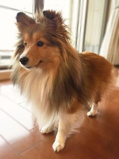 The Shetland Sheepdog originated in the and its ancestors were from Scotland, which worked as herding dogs. These early dogs were fairly Cute Puppies, Dogs And Puppies, Pet Dogs, Dog Cat, Doggies, Colley, Sheep Dog Puppy, Shetland Sheepdog Puppies, Rough Collie