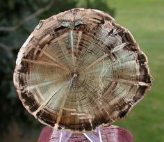 petrified wood ... Zimbabwe