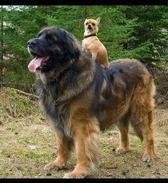 Funny chihuahuas ridding a big dog image