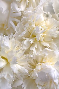 Peonies...utterly unpredictable but also stunningly sensational! | Duchesse de Nemours cream peonies| Flowerona