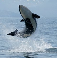 An essay on the majestic killer whales