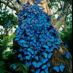 Blue butterflies!