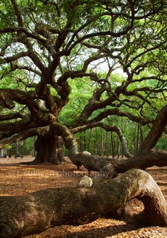 The Angel Oak is thought to be over 1400 years old