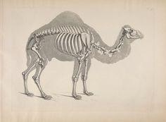 Heinz Christian Pander - Die Vergleichende Osteologie, 1821