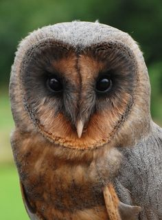 Ashley, a very unusual male melanistic black barn owl, hatched in May 2008. He was bred in captivity. In the wild, owls born with this rare 100,000 to 1 genetic mutation are usually killed by their mothers.
