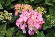 HYDRANGEA macrophylla 'Rosita' Hydrangea Macrophylla, Plants, Hydrangeas, Plant, Planting, Planets, Hydrangea
