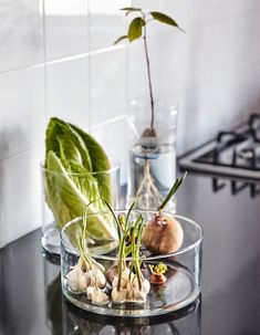 Sprouting garlic and onions sit in a glass cylinder, a wilting head of lettuce sits in a glass vase with some water, and an avocado seed is sprouting in a plastic container. Regrow Vegetables, Planting Vegetables, Vegetable Garden, Planting Onions, Aromatic Herbs, Organic Herbs, Faire Son Compost, Green Onions Growing, Growing Vegetables