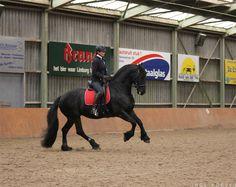 Yske, Frisian mare, in training with Anja Beran