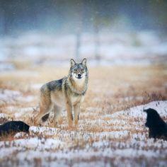 Stop Killing Wolves! Grey Wolf & Ravens by Niko Pekonen