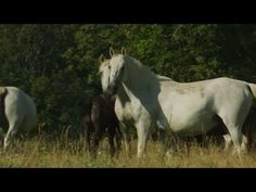 ▶ Lipica - The Cradle of the Lipizzaner - YouTube