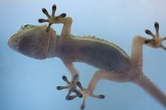 Geckos can quickly turn the stickiness of their feet on and off, a new study finds.