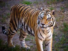 Walt Disney World - Animal Kingdom - Tiger