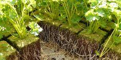 Le persil fait partie des plantes aromatiques les plus connues et sans doute les plus consommées. Toutefois, les jardiniers débutants se plaignent souvent des difficultés à le faire lever puis pousser correctement dans leur potager.