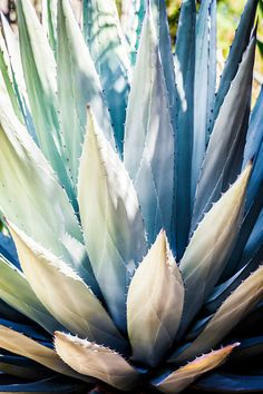 Close-up of an Blue Agave succulent with varying shades of ice blues and greens. This is for one (1) print in your choice of medium and size.