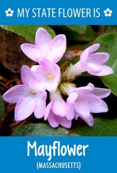 #Massachusetts' state flower is the Mayflower. What's your state flower? http://pinterest.com/hometalk/hometalk-state-flowers/