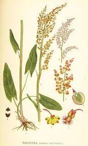 Šťovík lékařský -                                                                                      Fumaria officinalis