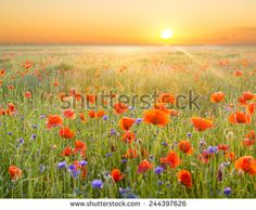 The May meadow, poppies and cornflowers