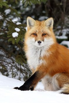 You Have My Attention | by: { Megan Lorenz }Red Fox