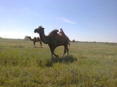 Верблюды в Саратовской области.