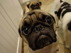 Pug: Begging level - EXPERT