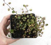 Miniature Garden Plants for Miniature Gardening