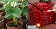 Ukážeme vám skvelý spôsob, ako si vypestovať vlastné jahody z kupovaných plodov. Je to jednoduché a ak máte chuť na malý experiment, určite sa oplatí vyskúšať.