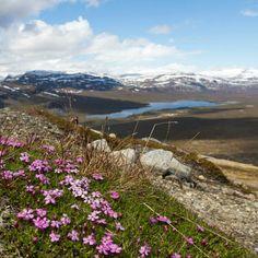 Saana kukkii - eikä yhtään sääskiä. Kuva Erkki Alasaarela