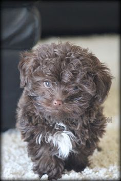 As soon as I can...I'm getting one of these! Love them and those beautiful faces! Bolonka Treasures Puppy Page