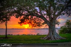 Fig Tree at Park During Sunset Vero Beach Florida Indian River