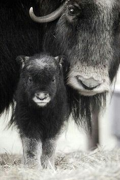 ❤️Buffalo, mother and baby.