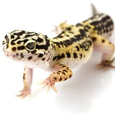 Leopard Gecko. My favorite! They are so cute!