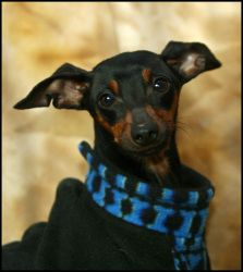 ROO is an adoptable Manchester Terrier Dog in Kingsland, GA. Roo is a 4 year old black and tan Manchester Terrier mix male. He is playful, sweet and has a lot of energy. Formal behavior testing pendin...