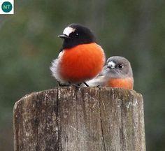 https://www.facebook.com/WonderBirds-171150349611448/ Họa mi lửa; Họ Họa mi châu Đại Dương-Petroicidae; Đông-nam Úc và đảo Tasmania    Flame robin (Petroica phoenicea); IUCN Red List of Threatened Species 3.1 : Near Threatened (NT)(Loài sắp bị đe dọa).