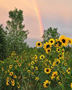 ☀  Rainbow Sunflowers