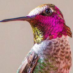 Tracy Johnson fotografias de colibries 14