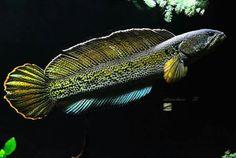 Orange spotted snakehead. Home Aquarium, Aquarium Fish, Tropical Aquarium, Salt And Water, Fresh Water, Snakehead Fish, Oscar Fish, Dragon Fish, Ichthys