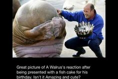 Walrus reacts to his Birthday fish cake