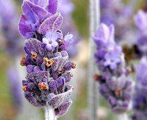 Herbal Sleep Aid - Lavender Essential Oil. 1 oz. bottle $12.25