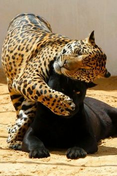 Jaguar and panther Crazy Cats, Big Cats, Cool Cats, Cats And Kittens, Siamese Cats, Nature Animals, Animals And Pets, Funny Animals, Cute Animals
