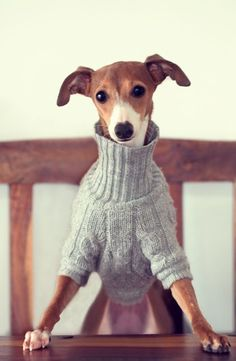 Chairman of the Board!  This little Italian Greyhound means business-he's putting both feet down!