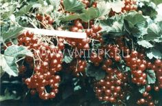 База данных сортов смородины, вишни, сливы, и др. плодово-ягодных культур