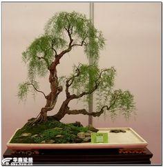 Salix babilónica - Bonsai