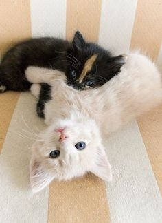 These cute kittens will bring you joy. Cats are awesome friends. Cute Cats And Kittens, I Love Cats, Crazy Cats, Kittens Cutest, Black Kittens, Ragdoll Kittens, Tabby Cats, Bengal Cats, White Cats