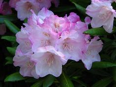 Coast Rhododendron flowers - photo by Jeanne Roe --- Washington officially designated the coast rhododendron (Rhododendron macrophyllum) as the state flower in 1959, though it was actually selected as the state flower in 1892 by the women of Washington for the 1893 World's Fair in Chicago.
