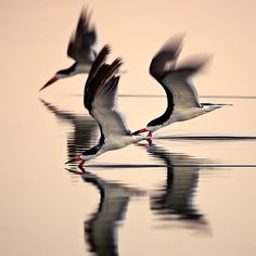 Airshow - Three Black Skimmers: Photo by Photographer David Orias  spectacular photo!!!  highly accomplished aerial acrobats!!!