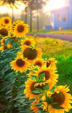 Beautiful Sunflower Row
