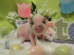 Mini Teacup Pigs | Piggly Wiggly Micro Mini Pigs and Juliana / Teacup Miniature Pigs !!!