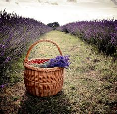 Basket & lavender; Mayfield Lavender, Banstead