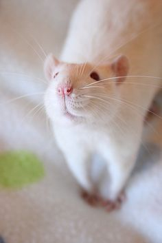 SO CUTE! I really want pet rats. I'd get a white one like this and call it Zero and a dark brown one and call it Rocky. The Effective Pictures We Offer You About Rodents logo A quality picture can te Animals And Pets, Baby Animals, Funny Animals, Cute Animals, Strange Animals, Beautiful Creatures, Animals Beautiful, Rats Mignon, Dumbo Rat